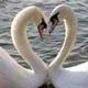 Descarga fondos Amor de cisnes